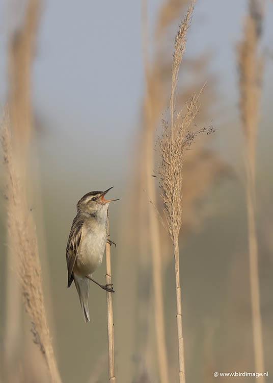 Rietzanger – Sedge Warbler