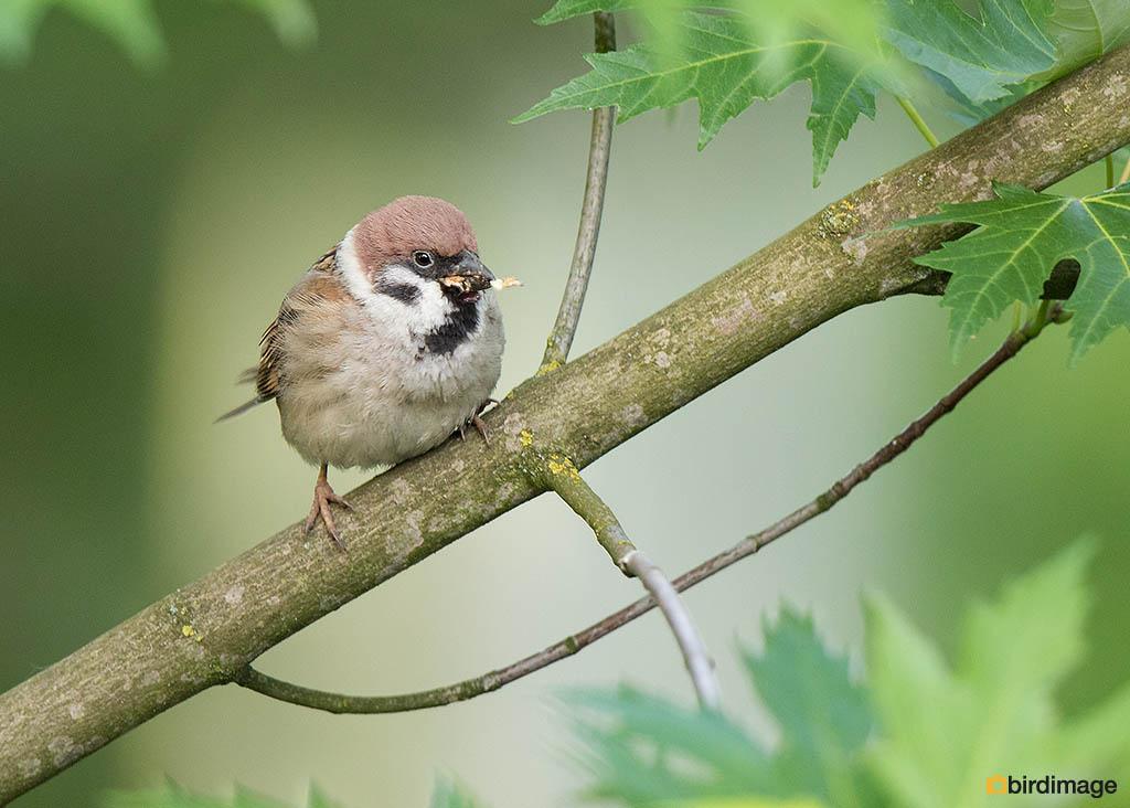 Ringmus – Tree Sparrow