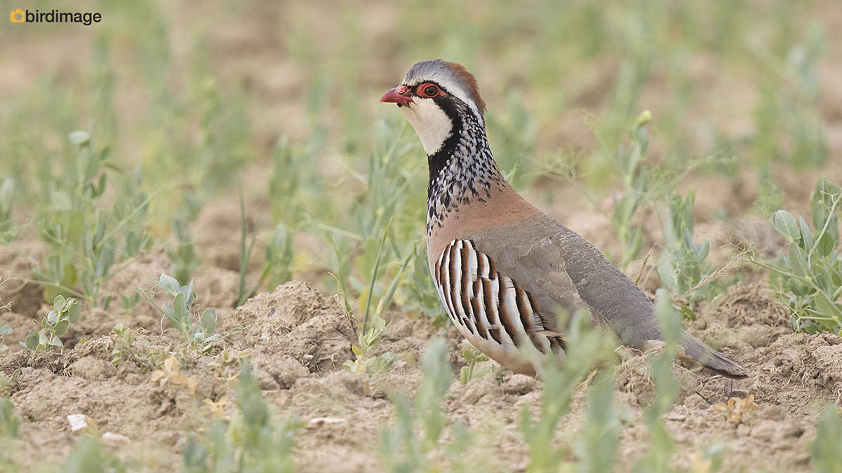 Rode patrijs – Red-legged Partridge