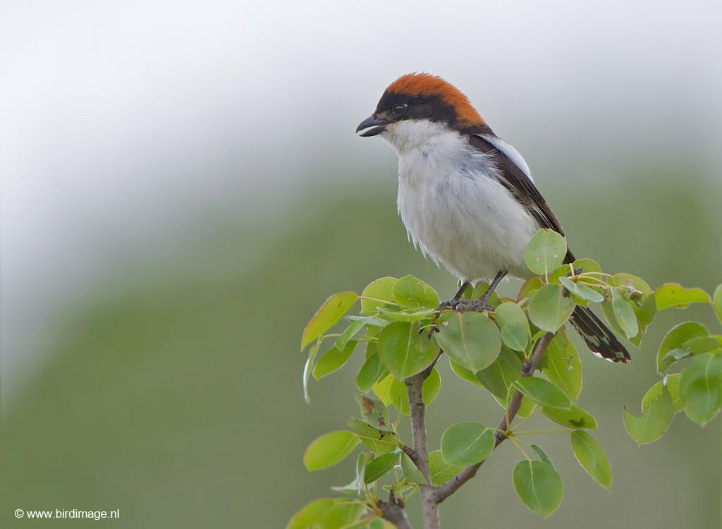 Roodkopklauwier – Woodchat Shrike