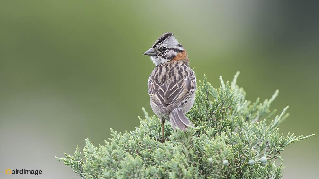Roodkraaggors – Rufous-collared Sparrow