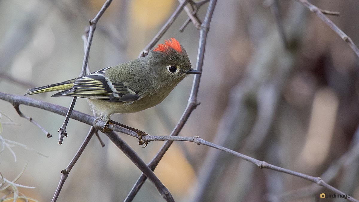 Roodkroonhaan – Ruby-crowned Kinglet