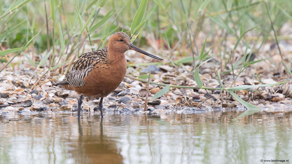 Rosse grutto – Bar-tailed Godwit