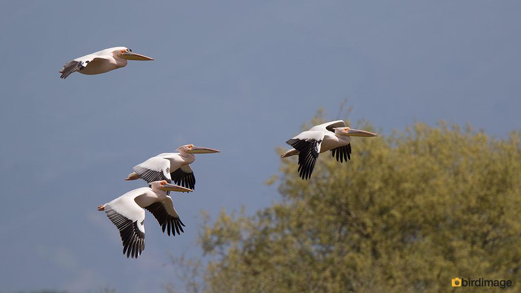 Roze pelikaan – Great White Pelican