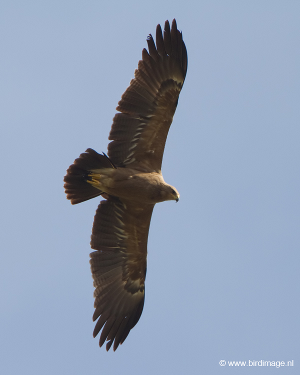 Schreeuwarend – Lesser Spotted Eagle