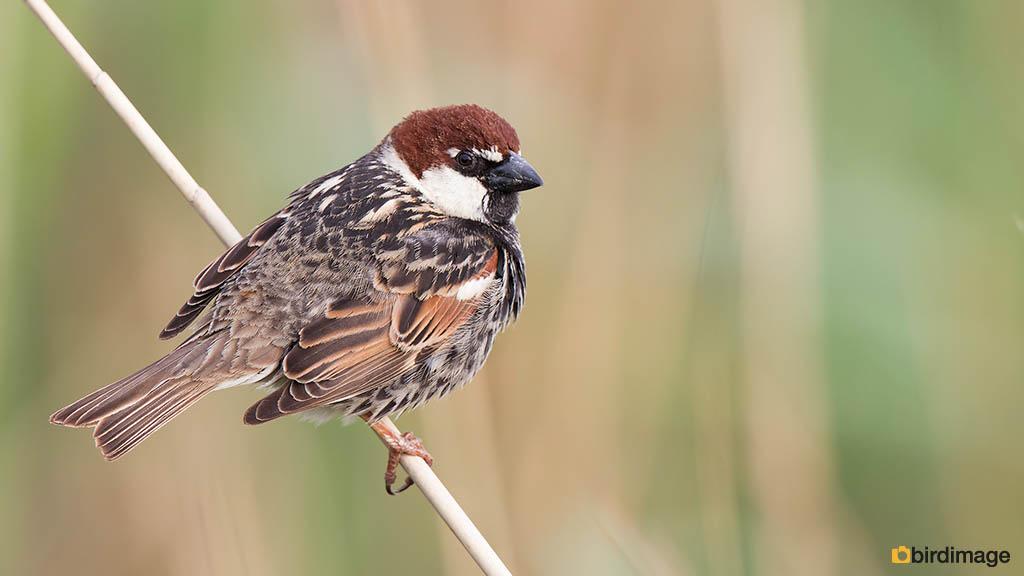 Spaanse mus – Spanish Sparrow