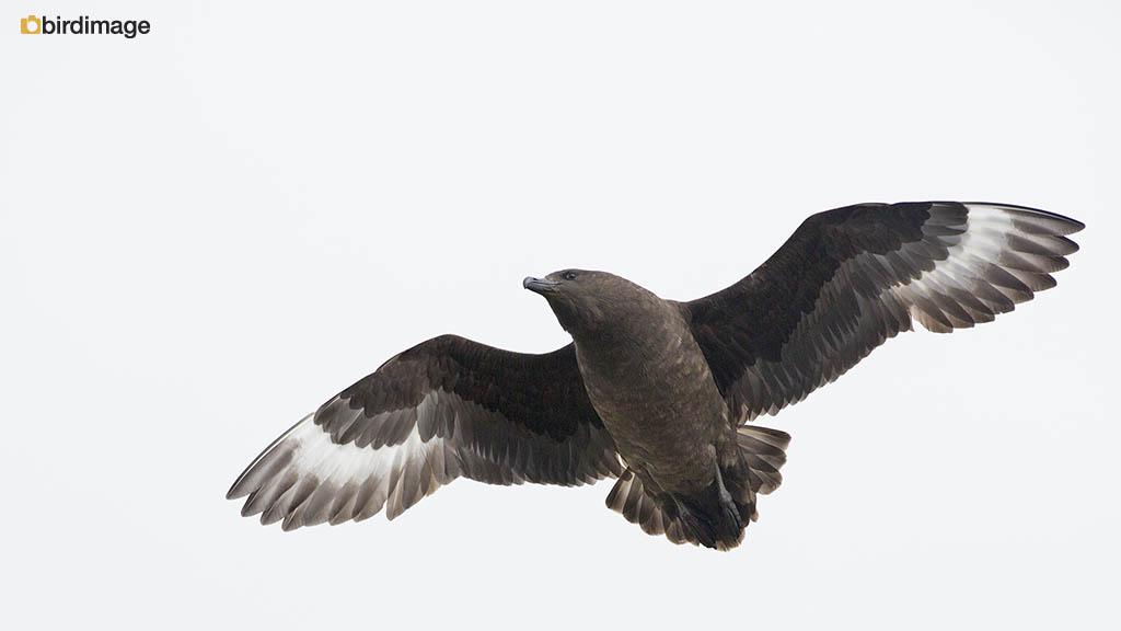 Subantarctische Grote Jager – Brown Skua