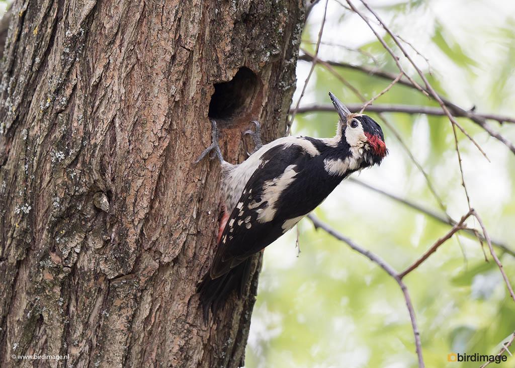 Syrische bonte specht – Syrian Woodpecker