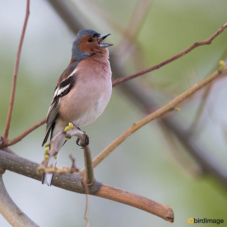 Vink – Common Chaffinch