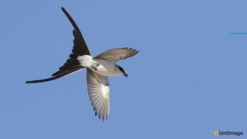 Vorkstaartkoningstiran – Fork-tailed Flycatcher