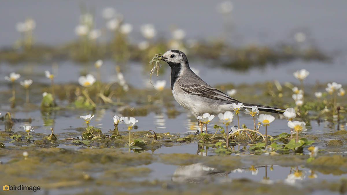 Witte kwikstaart – White Wagtail