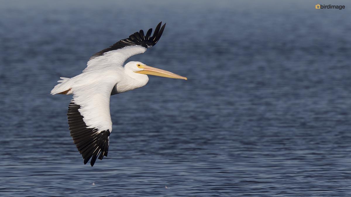 Amerikaanse witte pelikaan – American White Pelican