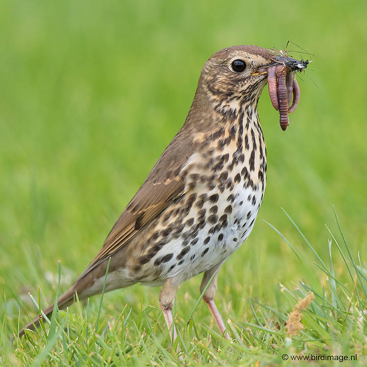 Zanglijster – Song Thrush