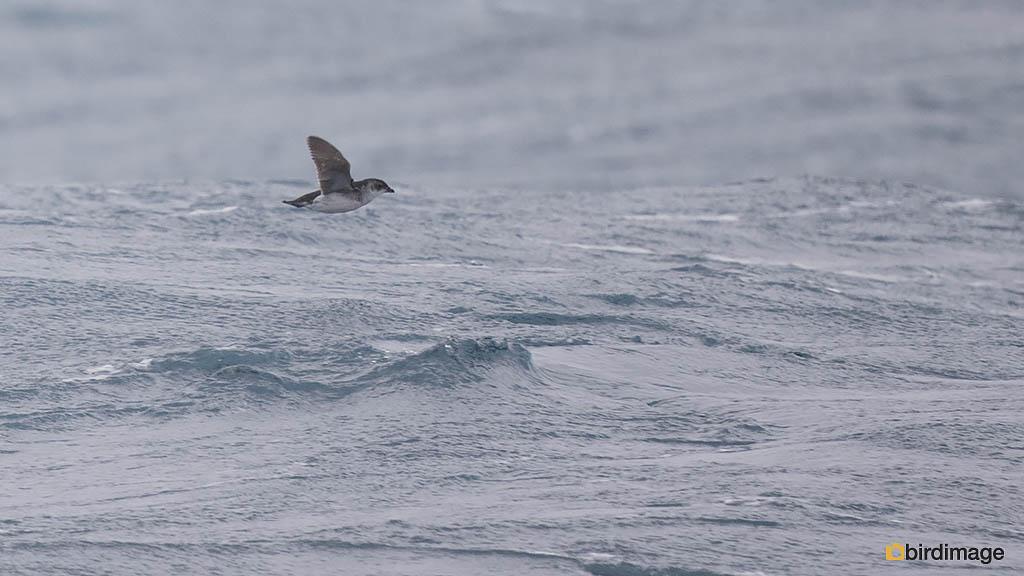 Zuid-Georgisch alkstormvogeltje – South Georgia Diving Petrel