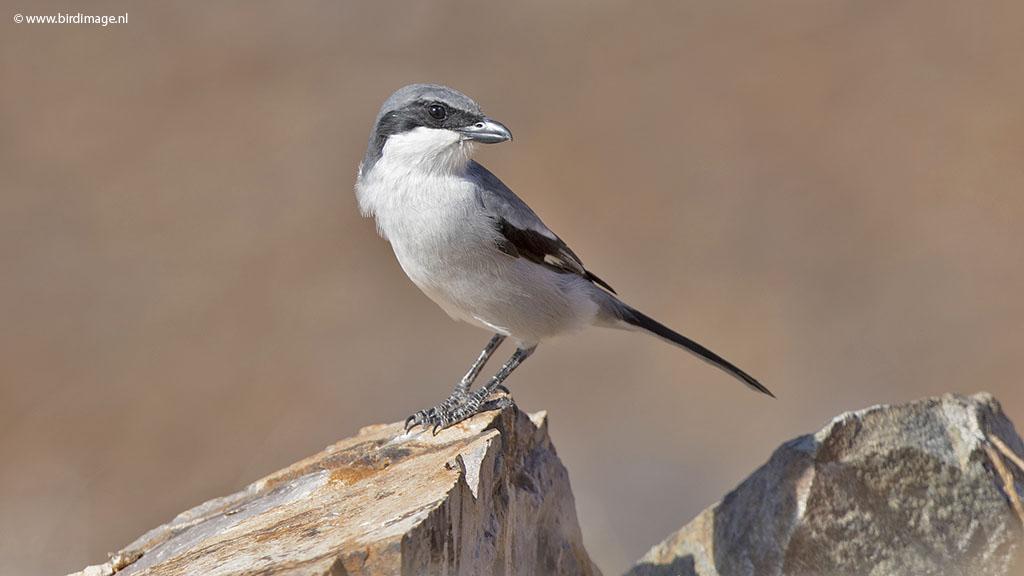Zuidelijke klapekster – Iberische klapekster – Southern Grey Shrike