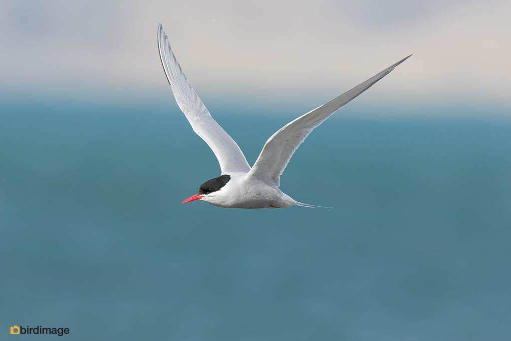Zuidpoolstern – Antarctic Tern