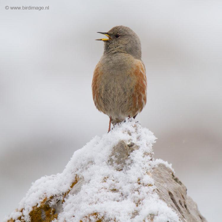 Alpenheggenmus – Alpine Accentor