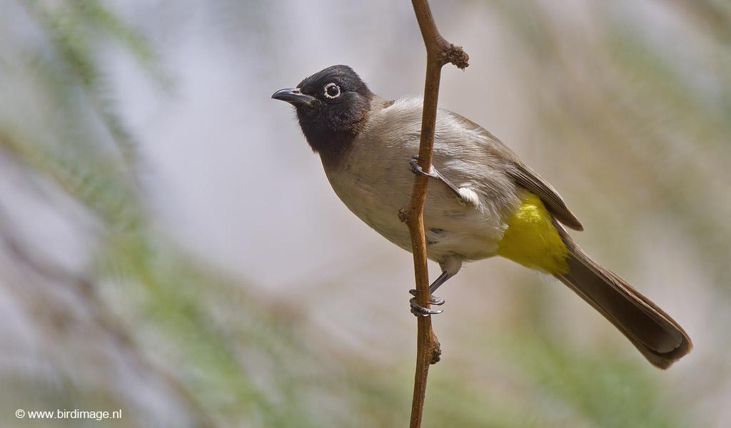 Arabische Buulbuul – Yellow-vented Bulbul