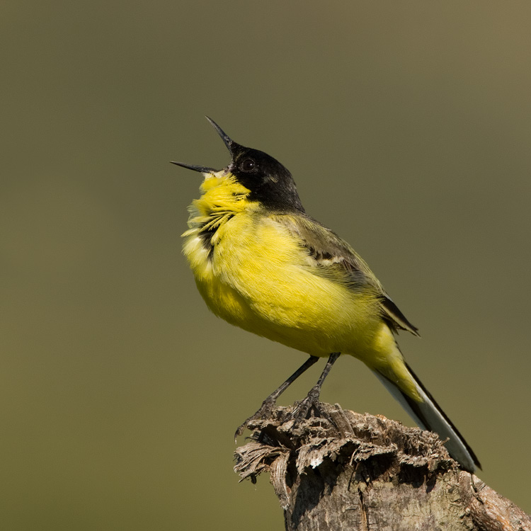 Balkankwikstaart – Black-headed Wagtail