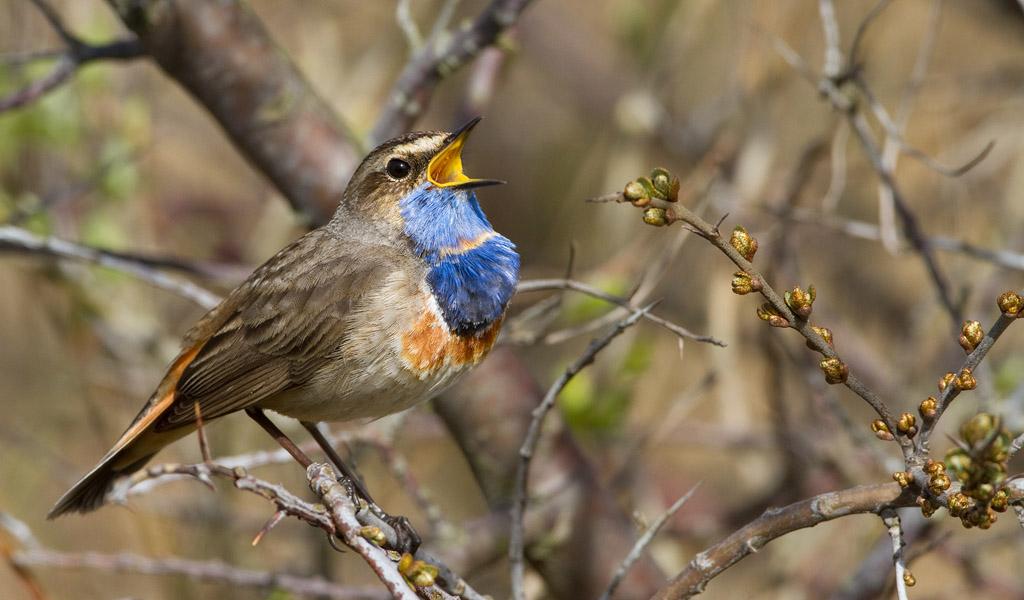 Blauwborst – Bluethroat