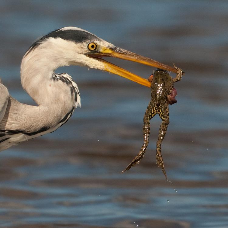 Blauwe reiger – Grey Heron