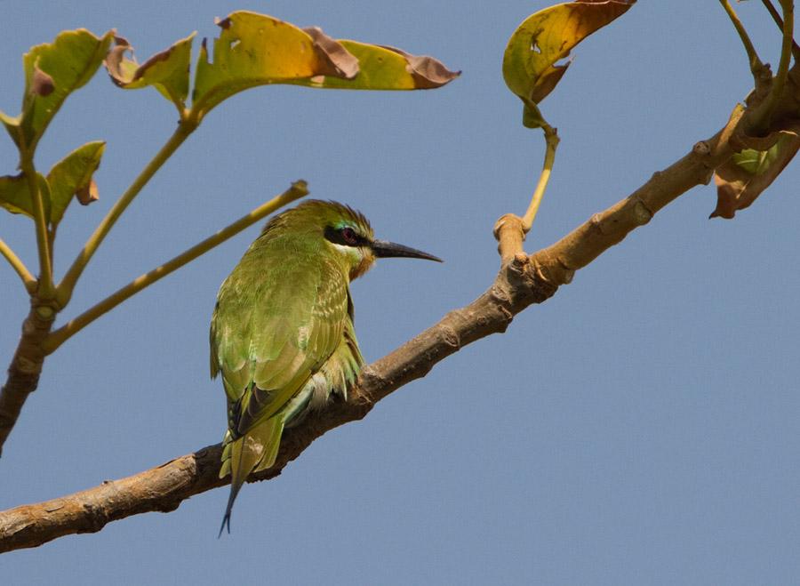 Blauwwangbijeneter – Blue-cheeked Bee-eater