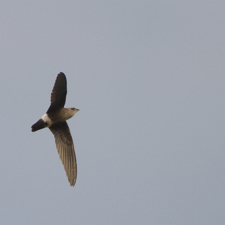 Baobapgierzwaluw – Mottled Spinetail