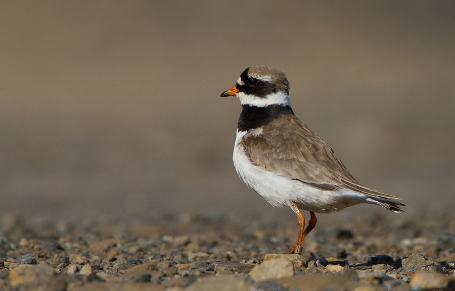 Bontbekplevier – Great Ringed Plover