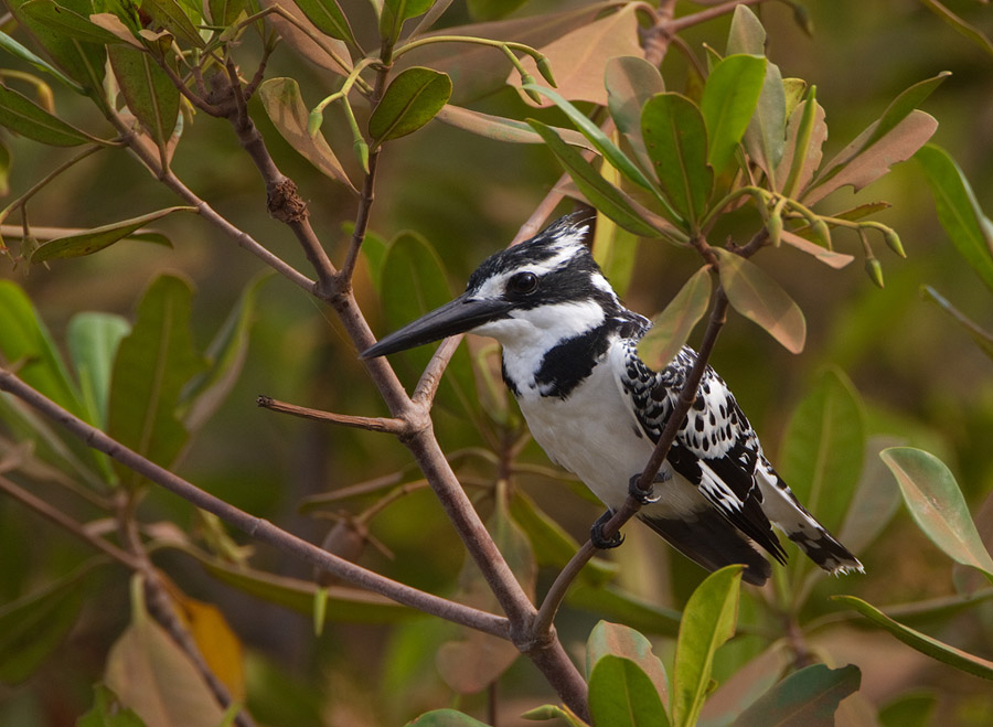 Bonte ijsvogel – Pied Kingfisher