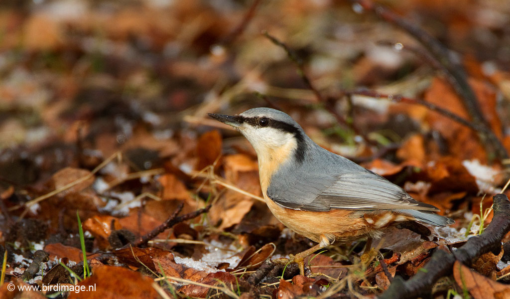 Boomklever – Nuthatch