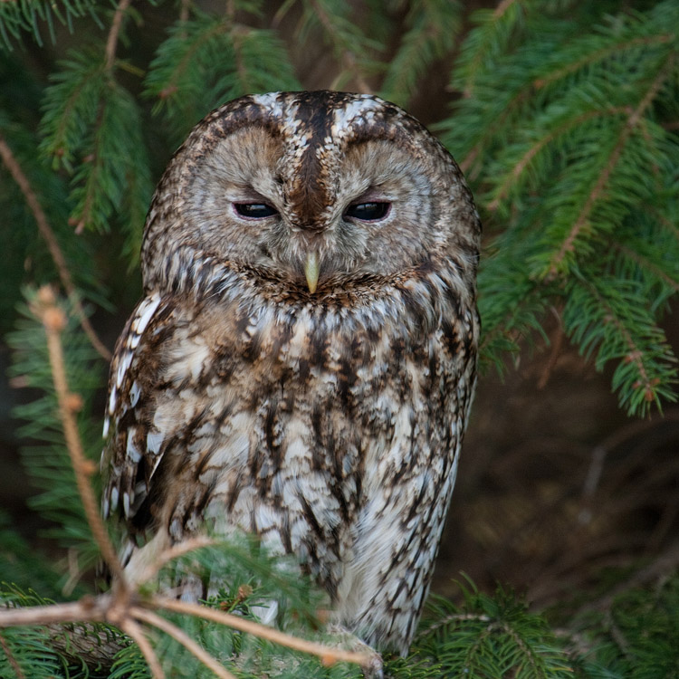 Bosuil – Tawny Owl