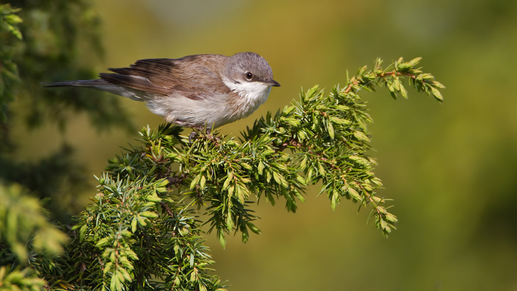 Braamsluiper – Lesser Whitethroath