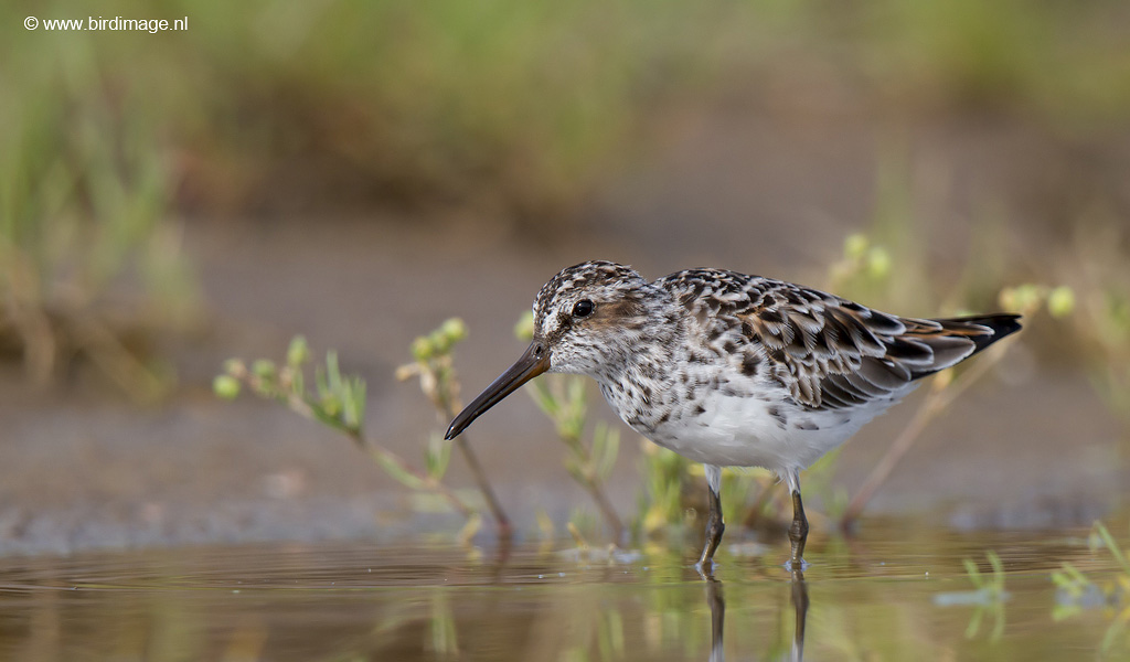 Breedbekstrandloper – Broad-billed Sandpiper