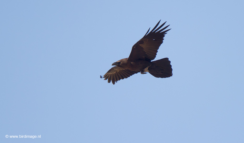 Bruinnekraaf – Brown-necked Raven