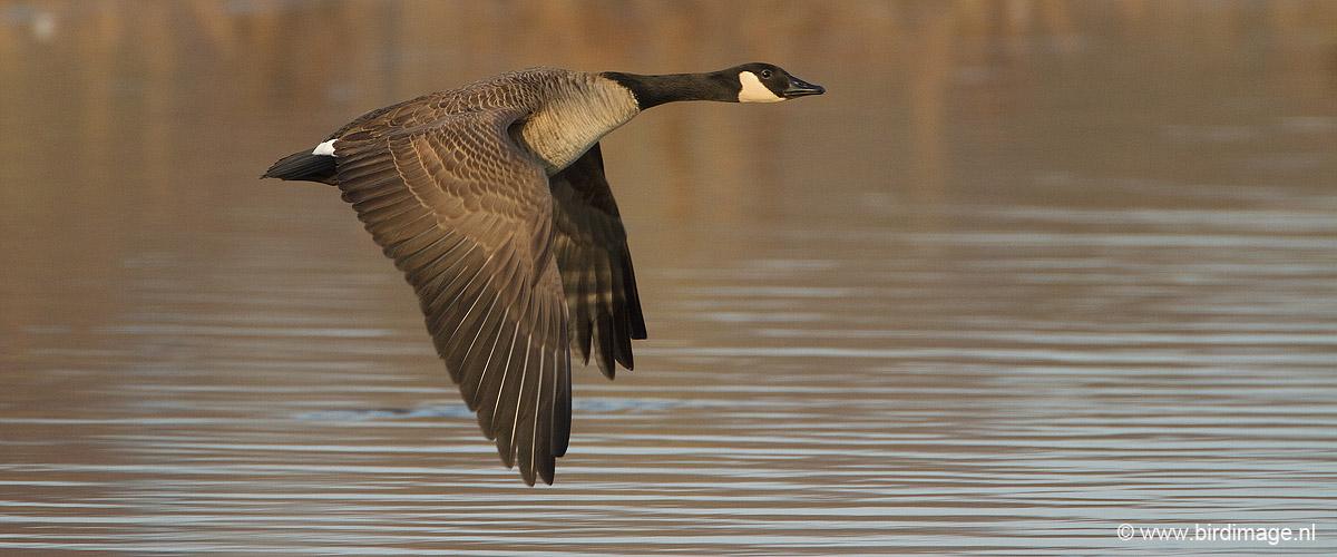 Canadese gans – Canada Goose