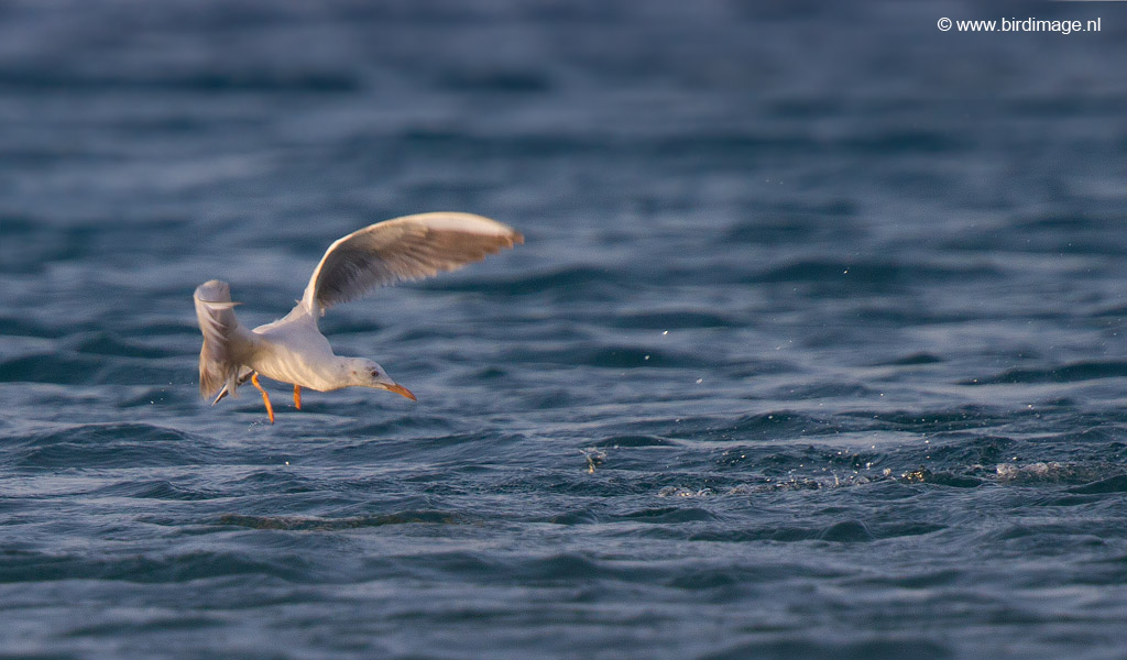 Dunbekmeeuw – Slender-billed Gull
