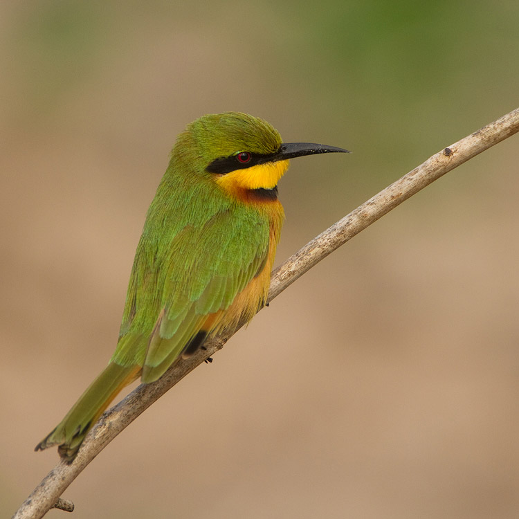 Dwergbijeneter – Little Bee-eater