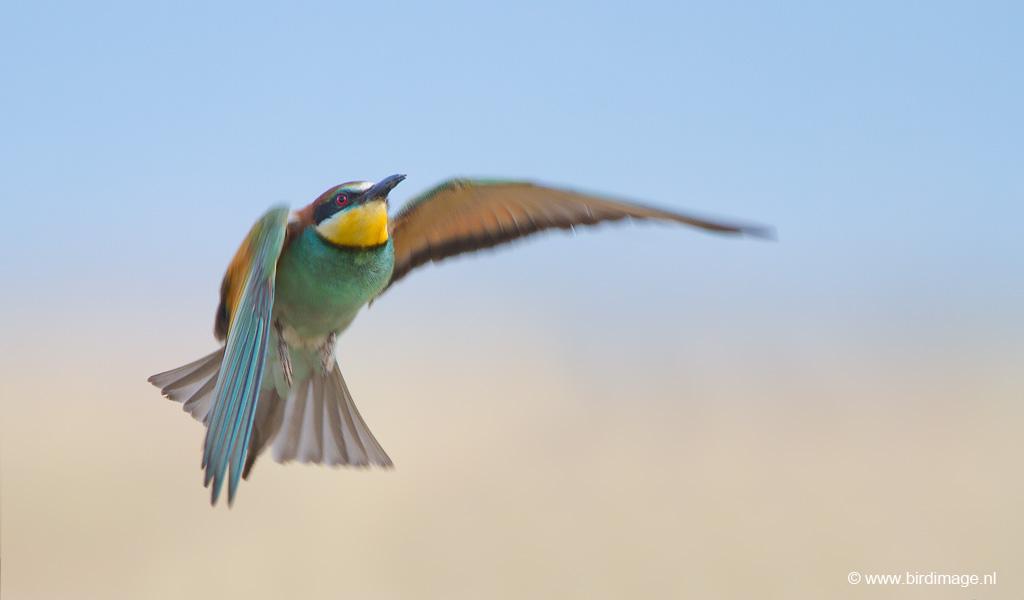 Europese bijeneter – European Bee-eater