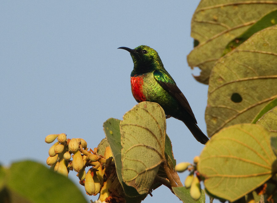 Feeënhoningzuiger – Beautiful Sunbird