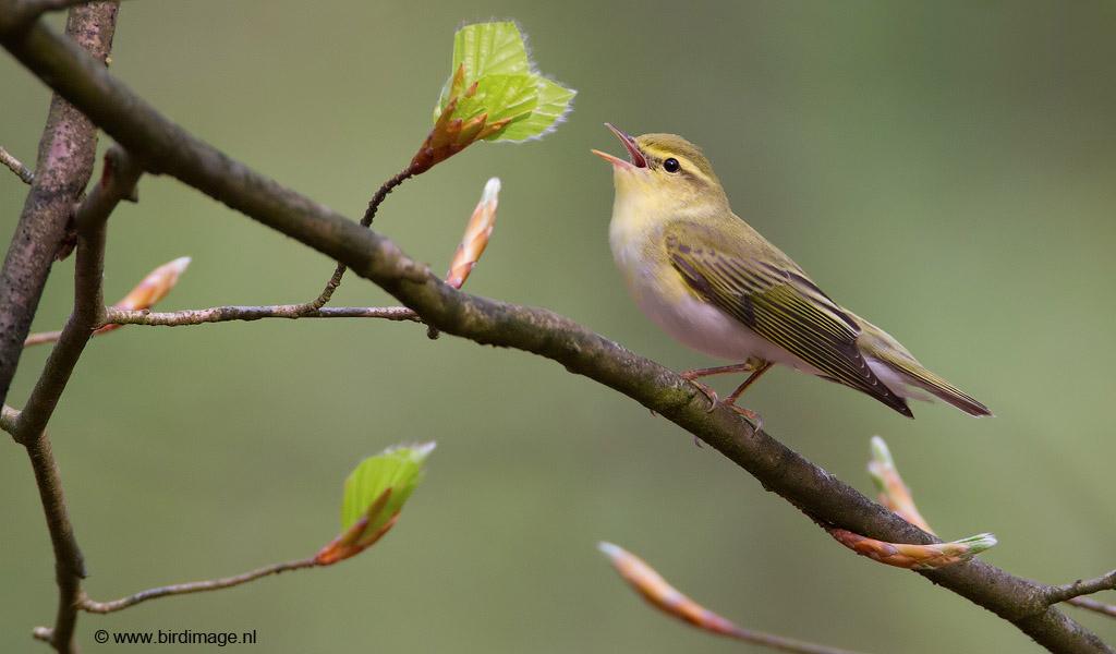 Fluiter – Wood Warbler