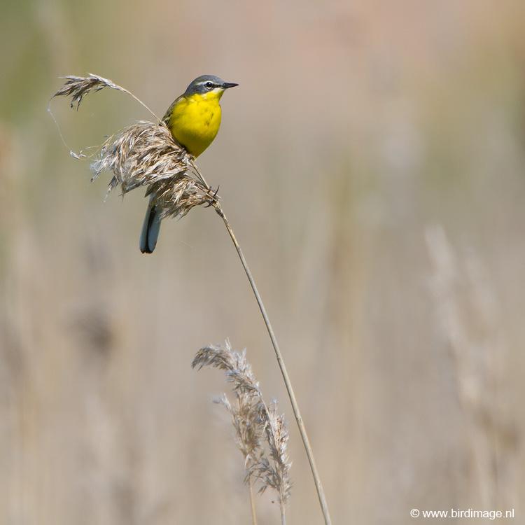 Gele kwikstaart – Western Yellow Wagtail