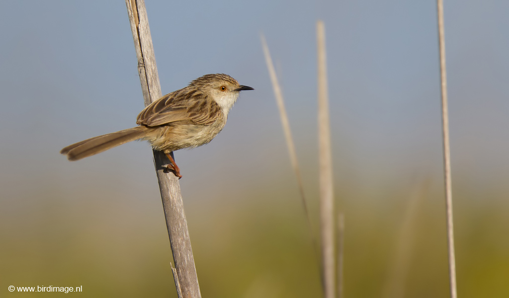 Gestreepte Prinia – Graceful Prinia