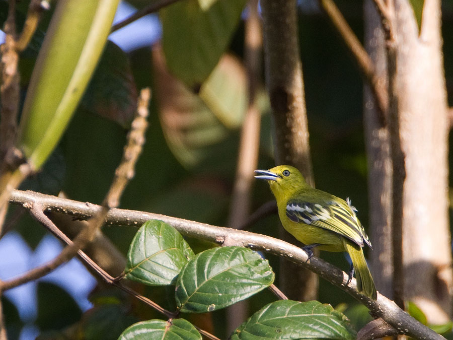 Gewone Iora – Common Iora