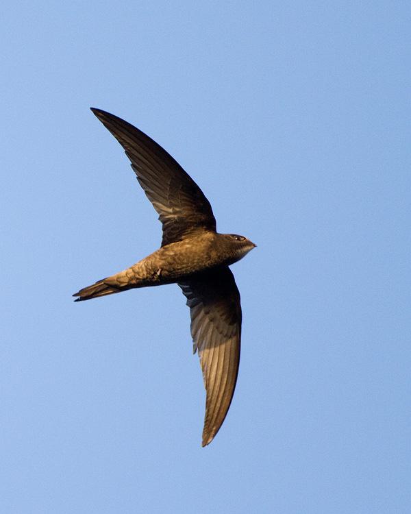 Gierzwaluw – Common Swift