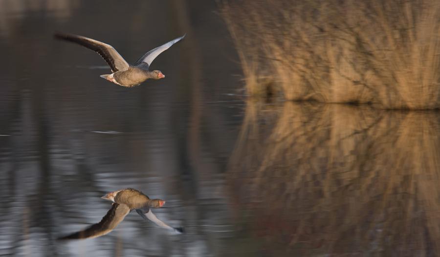 Grauwe gans – Greylag Goose