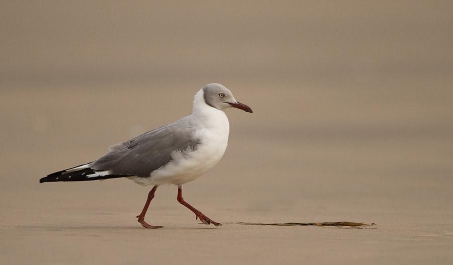 Grijskopmeeuw – Grey-headed Gull