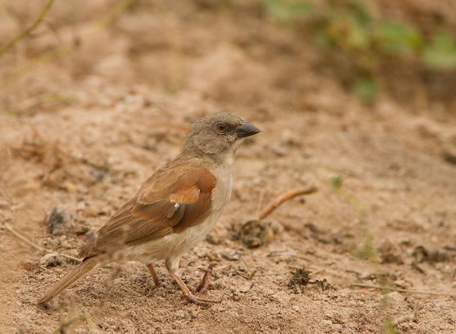 Grijskopmus – Northern Grey-headed Sparrow