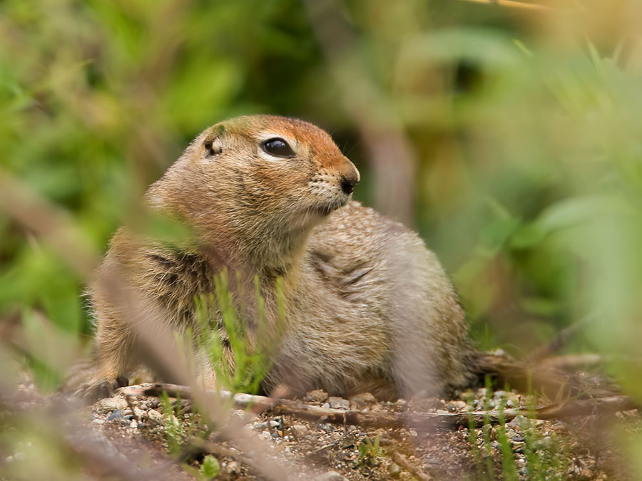 Grondeekhoorn – Ground Squirrel
