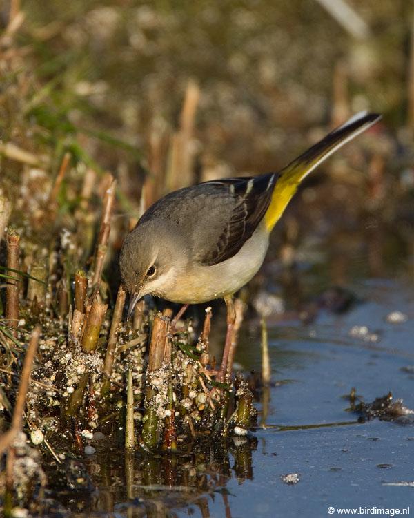 Grote gele kwikstaart – Grey Wagtail