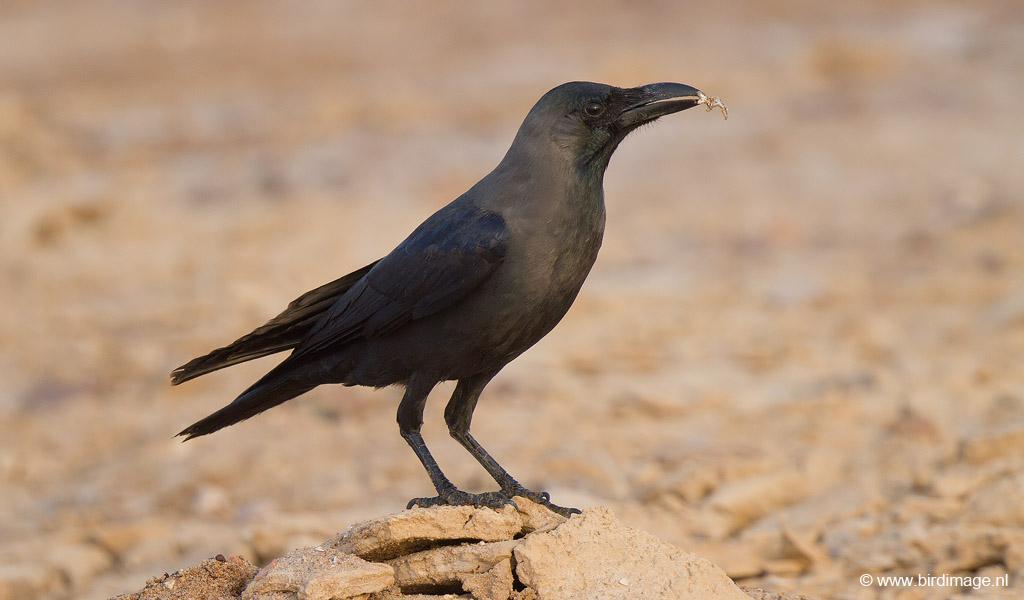Huiskraai – House Crow